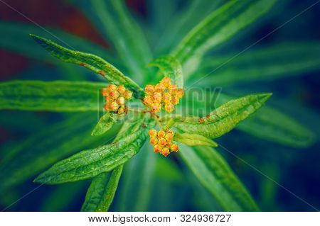 Beautiful Bright Fairy Dreamy Magic Orange Yellow Buds Of Asclepias Tuberosa Or Butterfly Weed Flowe