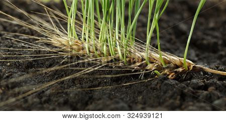 Macro Of Germinating Grains In Wheat Ear Over Fertile Soil Background, Concept Of Re-creation And Re