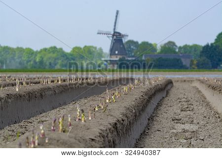 New Harvest Season On Asparagus Vegetable Fields, White And Purple Asparagus Growing Uncovered On Fa