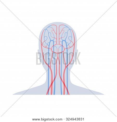 Vector Isolated Illustration Of Human Arterial And Venous Circulatory System In Head Anatomy. Brain