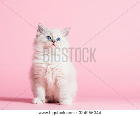 Ragdoll cat, small cute kitten portrait on pink background. Pedigree pet