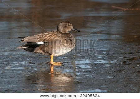 Gadwall (Anas strepera) standing on ice