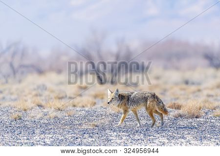 Wild Coyote (canis Latrans) In The Ash Meadows National Wildlife Refuge. Nevada. Usa