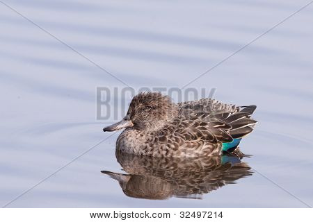 Eurasian Teal or Common Teal (Anas crecca)