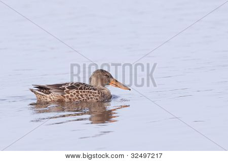 Northern Shoveler (Anas clypeata) swimming in water
