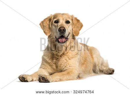 Golden retriever lying against white background
