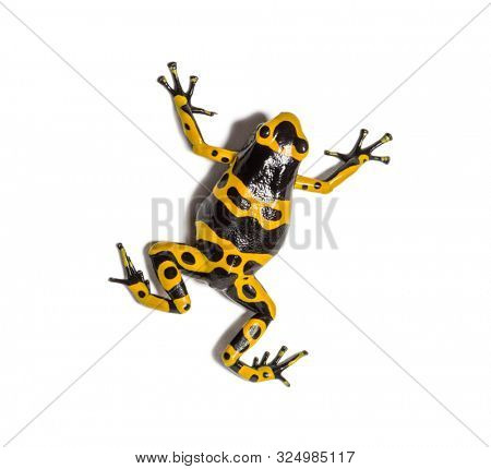 Top view of a Yellow-banded poison dart frog, Dendrobates leucomelas, Isolated