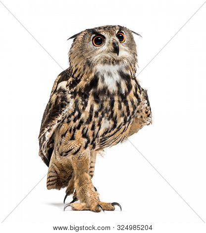 Eurasian eagle-owl, Bubo bubo, is a species of eagle-owl walking against white background