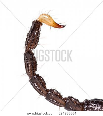 Close up of the tail and stinger of Pandinus dictator, in front of white background