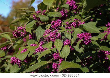 Bodiniers Beautyberry Callicarpa Bodinieri With Lilac, Purple Berries