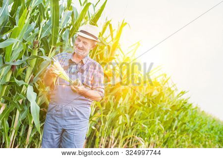 Senior farmer checking corn crop in corn field with yellow lens flare in background