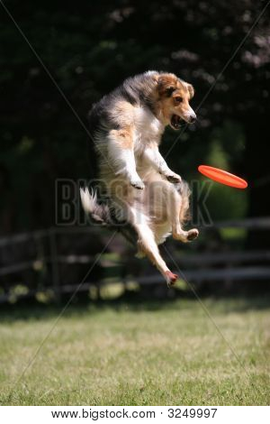 Dog Is Jumping And Cathing Disc