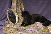 A long haired black cat looks into an oval mirror at her own reflected image of face with a fishnet drape poster