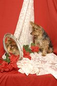 A yorkshire terrier sits in front of lace and red backdrop looking at own reflected image of face in an antique mirro poster