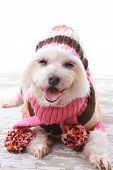 Happy dog wearing a warm woollen turtleneck sweater scarf and matching beanie hat with pom poms in colours of pink orange white and brown. poster