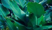 Leaves Calathea ornata pin stripe background blue poster