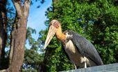 Giant marabou stork bird with long bill and bald head. African bird in zoo. Long legs and beak bird. Carnivorous bird species. Wildlife of Africa. Birdwatching portrait. Tropical zoo inhabitant poster