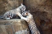 White bengal tiger cubs playing in the zoo poster