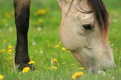 Horse grazing on grass and dandelions in pasture poster
