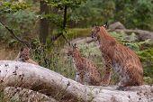 A Eurasian lynx (Lynx lynx) with cubs poster