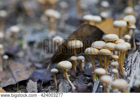 Small Forest Mushrooms Autumn Background. False Mushrooms, Toadstools On A Tree In The Forest. Autum