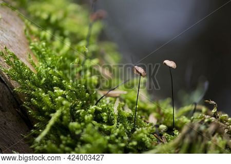 Small Mushrooms On Green Moss In The Forest. Fungi Colony Growing From Moss In Rainforest. Autumn Se