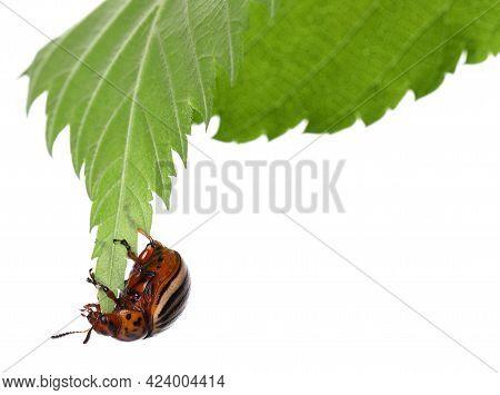 Colorado Potato Beetle On Green Leaf Against White Background