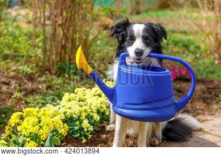Outdoor Portrait Of Cute Dog Border Collie Holding Watering Can In Mouth On Garden Background. Funny