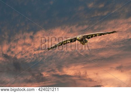 Eagle Flying In The Red Blue Sky. Outstretched Wings In Search Of Prey. Flying Birds Of Prey During