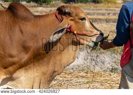Farmer Man Feeding Feed To Young Cow In Hand.