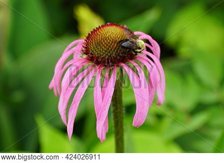 A Bee Pollinating A Pink Coneflower In The Summer
