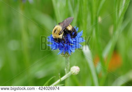 Close-up Of A Bee Pollinating A Beautiful Blue Bachelor's Button Flower