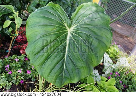 The Big Green Leaves Of Philodendron Dean Mcdowell, A Tropical Plant