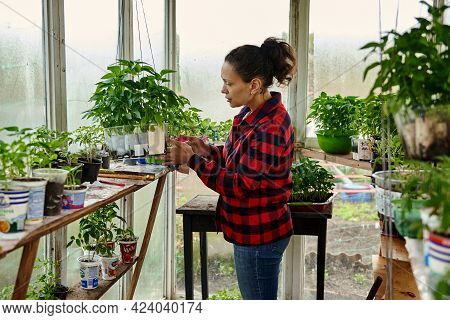 Mature Female Gardener Cultivating Vegetables In Greenhouse. Gardening In A Greenhouse. Organic Agri