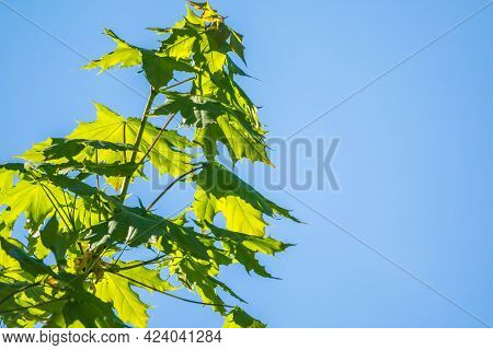 Spring Branches Of Maple Tree With Fresh Green Leaves On A Background Of Blue Sky.