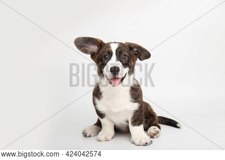 Welsh Corgi Cardigan Cute Fluffy Dog Puppy. Funny Animals On White Background With Copy Space