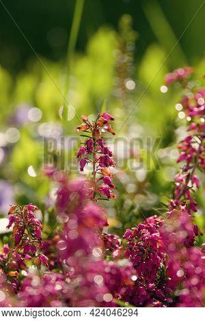 Morning Sun Rays In Erica Flowers (heath), Blured Light