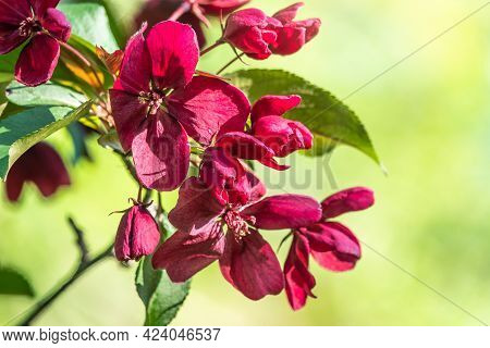 Fresh Pink Flowers Of A Blossoming Apple Tree With Blured Background. Blossoming An Apple-tree. Pink