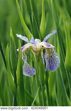 Iris Chrysographes Blue Form Of The Normally Almost Black Flower With A Blurred Background Of Leaves