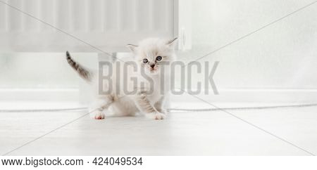 Adorable fluffy ragdoll kitten standing isolated on blurred white background and looking back. Cute little kitty in light room with daylight. Horizontal portrait of purebred small cat