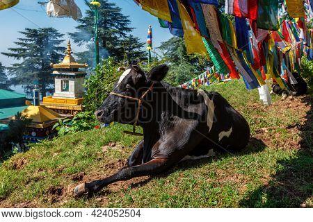 Cow indian sacred animal under Buddhist prayer flags on kora around Tsuglagkhang complex. McLeod Ganj, Himachal Pradesh, India