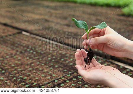 Growing Seedlings In A Greenhouse. Spring-summer Season For Growing Crops. Out Of Focus.seedlings In