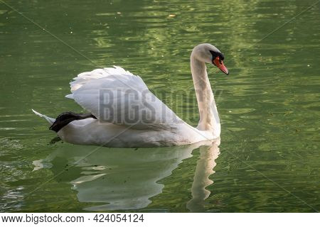A Graceful White Swan Swimming On A Lake With Dark Green Water. The White Swan Is Reflected In The W