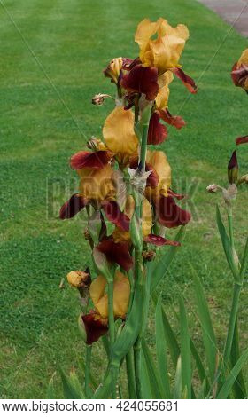 Unusual Coloured Bearded Irises In Contrasting Shades Or Gold And Brown