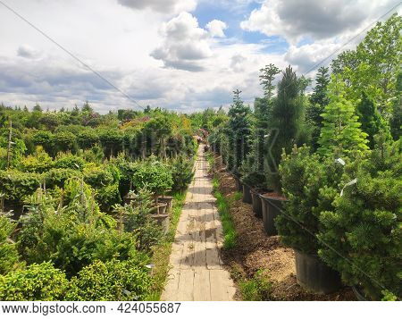 Sale Of Coniferous Evergreen Plants In The Garden Center. Thuja, Decorative Pines, Firs, Junipers In