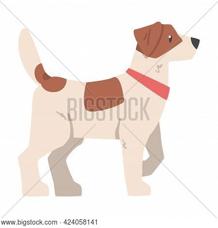 Side View Of Jack Russell Terrier, Friendly Pet Animal With Brown And White Coat Cartoon Vector Illu