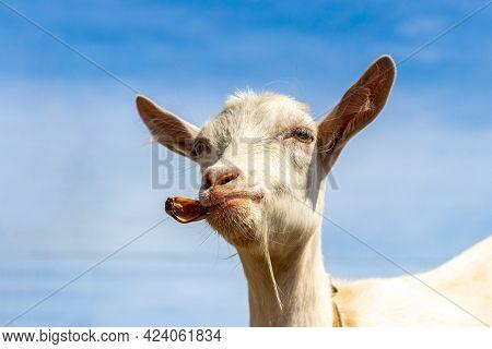Goat Eats A Banana Peel, Interesting Animals, Funny Goat