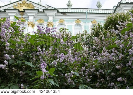 A Large Bush Of Fluffy Blooming Purple Lilac On The Background Of The Hermitage Museum In St. Peters