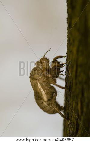Cicada Cuticle Or Exuviae