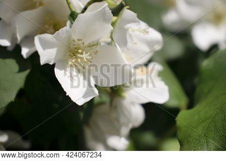 Beautiful Jasmine Flower Background Closeup Summer Garden